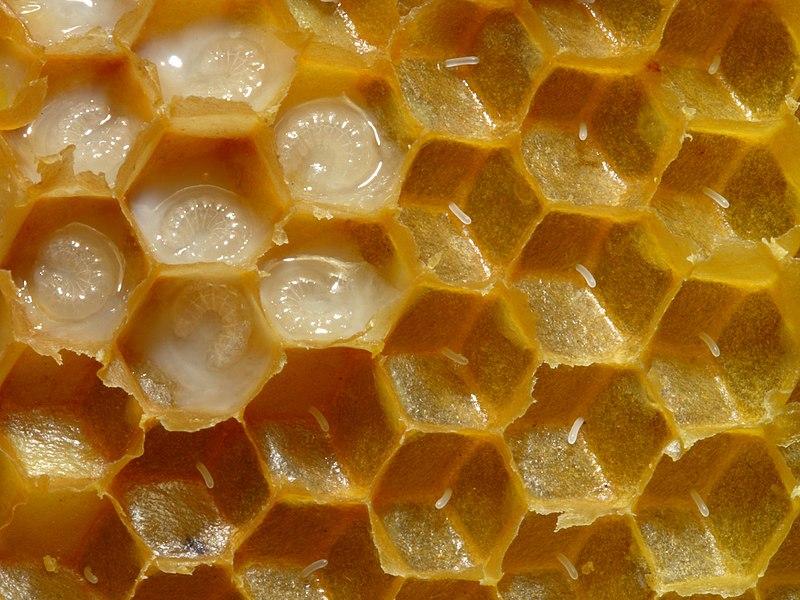Ciclo de vida de la abeja: el huevo